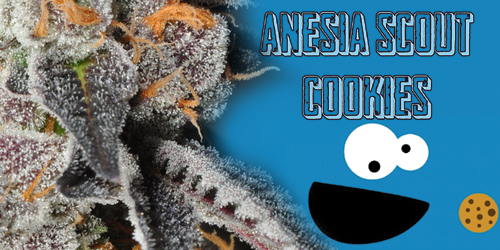 Anesia-Scout-Cookies