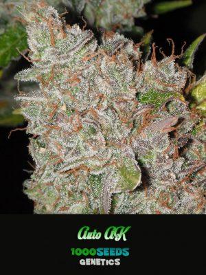 Auto AK, 1000Seeds Genetics, feminisierte Cannabis-Samen