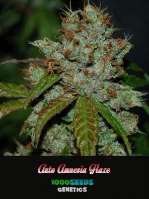 Auto-Amnesia-Haze, 1000Seeds Genetics, feminisierte Seeds