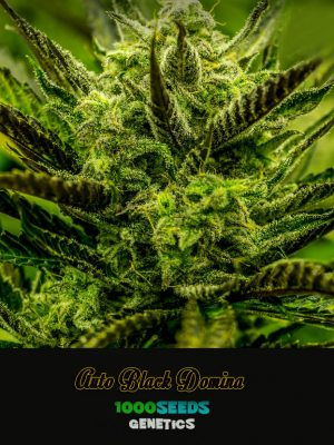 Auto Black domina Seeds kaufen, Seedshop