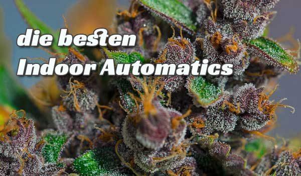 Cannabis-Sorten selbstblühend, Sorten Review