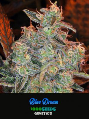 Blue Dream, 1000Seeds genetics kaufen