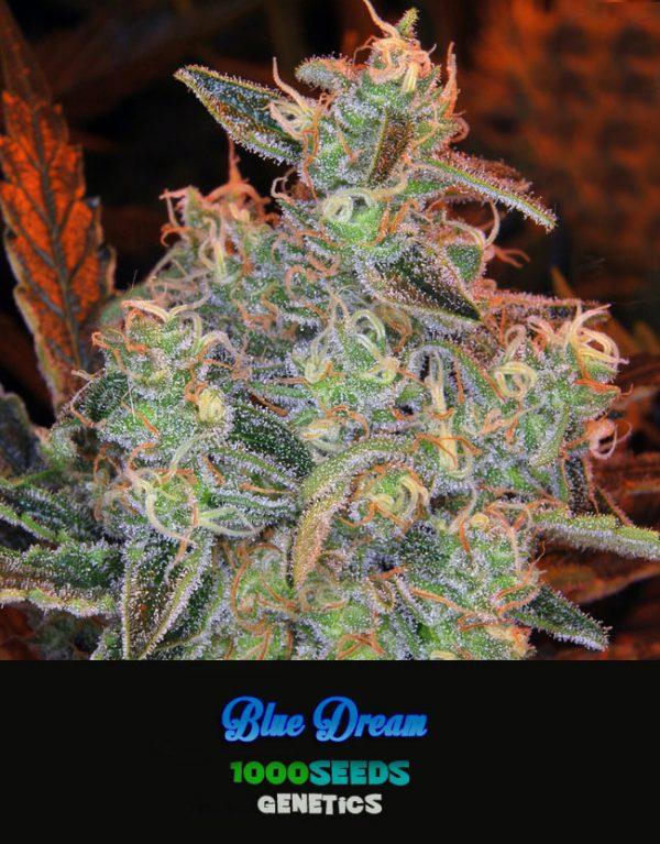 Blue Dream, 1000Seeds genetics kaufen