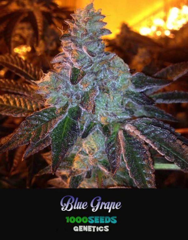 Blue-Grape-1000Seeds, feminisierte Samen
