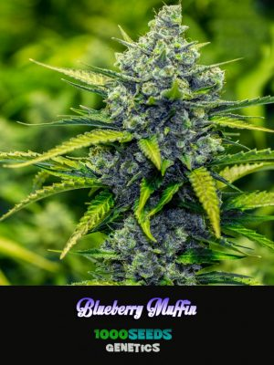 Blueberry-Muffin, 1000seeds Genetics, feminisierte Hanfsamen