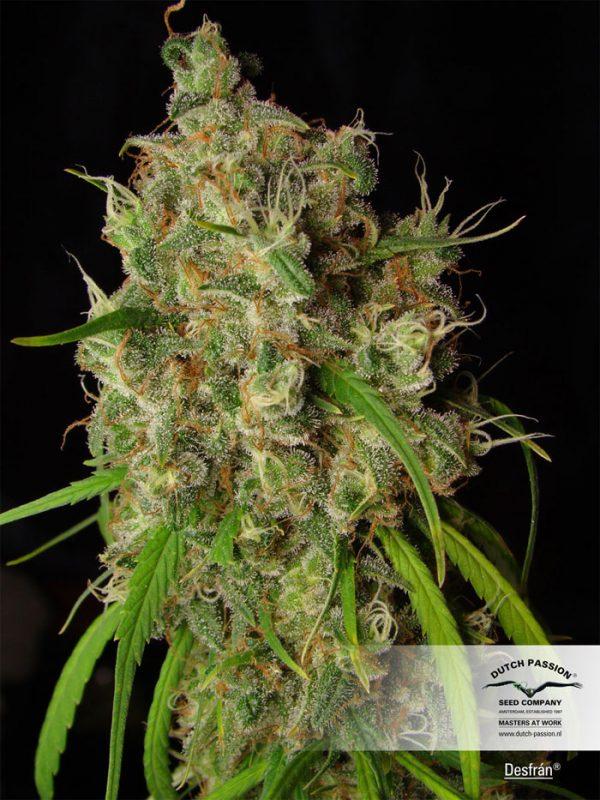 Desfran-Dutch-Passion, feminisierte Cannabis-Sorte, Sativa, Seedshop