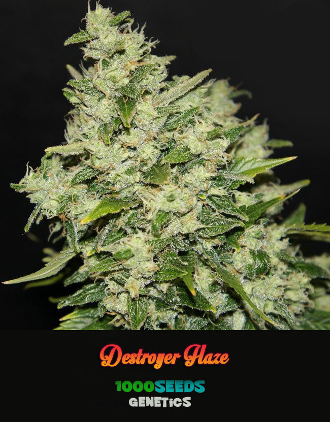 Destroyer-Haze, Premium Haze, Seedshop