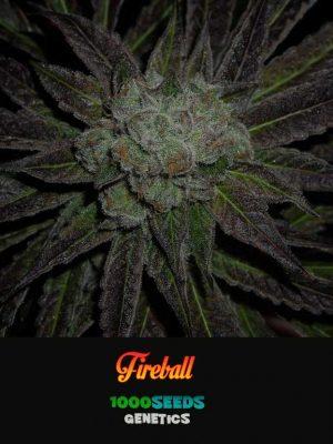 Fireball, 1000Seeds Genetics, feminisierte Cannabis-Samen