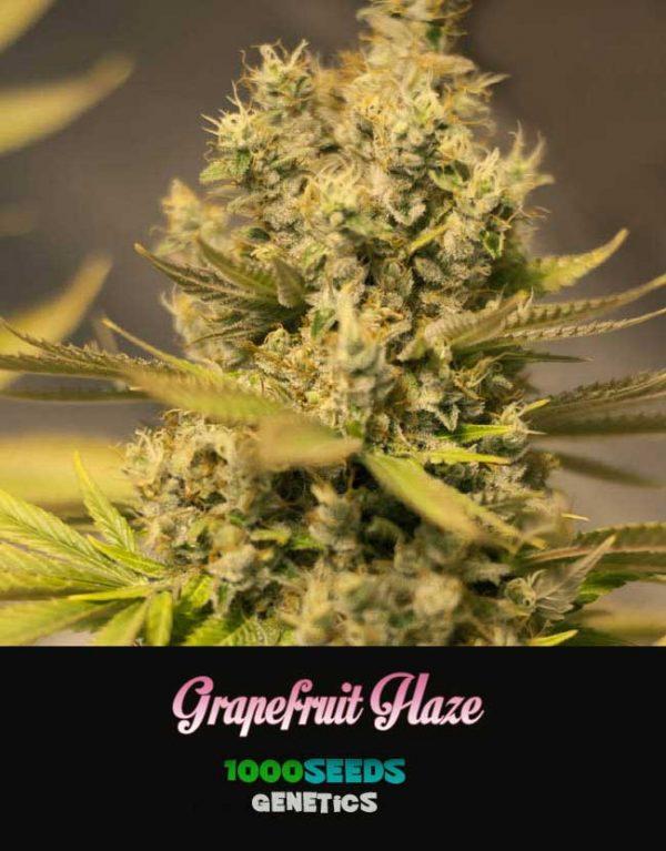 Grapefruit-Haze, 1000Seeds Genetics, feminisierte Samen