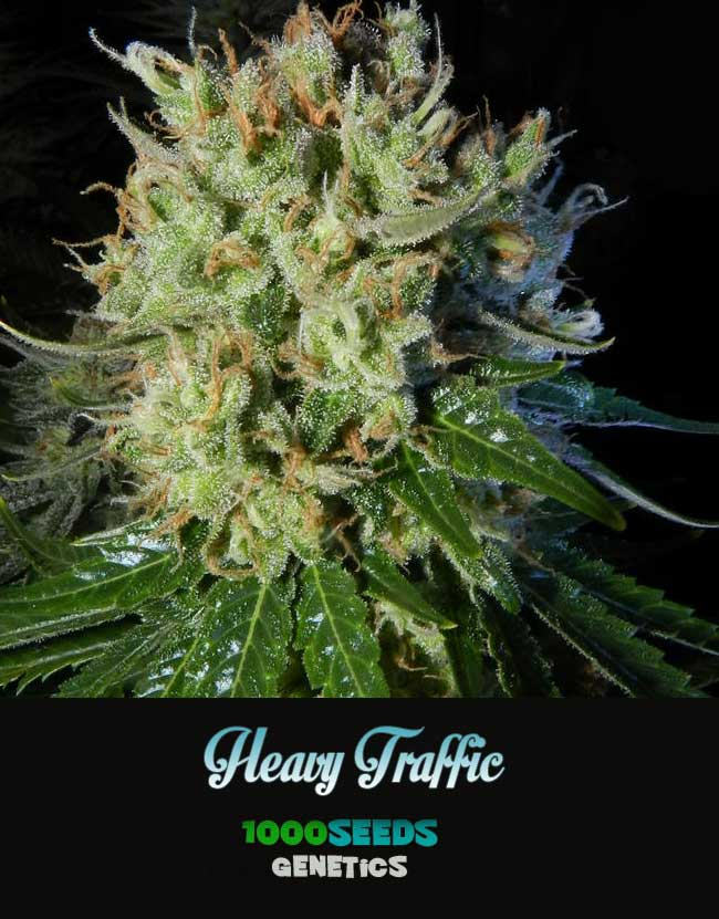 Heavy-Traffic, 1000Seeds Genetics, feminized Seeds