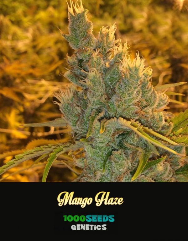 Mango-Haze, feminisierte Cannabis-Samen