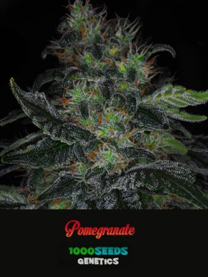 Pomegranate, 1000Seeds Genetics, feminized Seeds