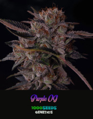 Purple-OG, 1000Seeds Genetics, Cannabis-Samen