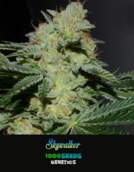 Skywalker, feminisierte Cannabis-Samen bestellen