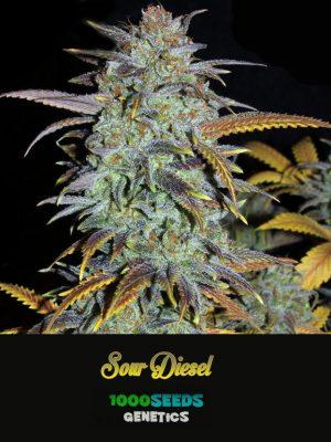 feminisierte Cannabis-Samen bestellen