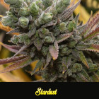 Stardust, 1000Seeds Genetics, feminized Seeds