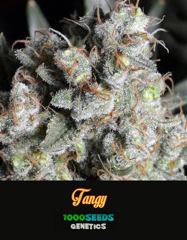 Tangy, feminisierte Cannabis-samen, 1000Seeds Genetics