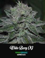 White-Berry-OG, feminisierte Casnnabis-Samen kaufen, 1000Seeds Genetics