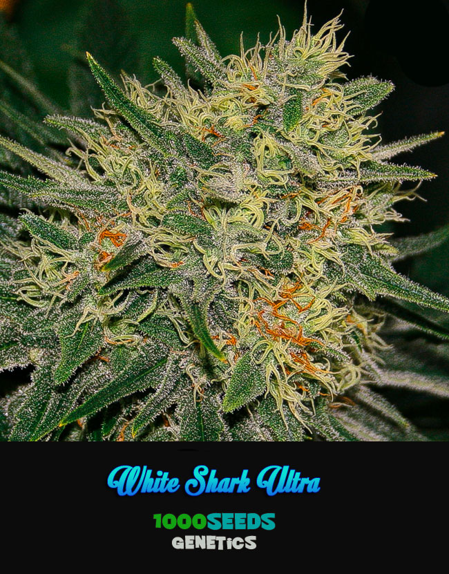 White-Shark-Ultra, 1000Seeds Genetics, feminisierte Samen