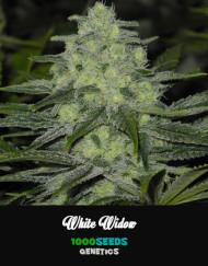 White-Widow, feminisierte Cannabis-Samen kaufen