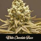 white-chocolate-Haze, 1000Seeds Genetics, feminisierte Seeds