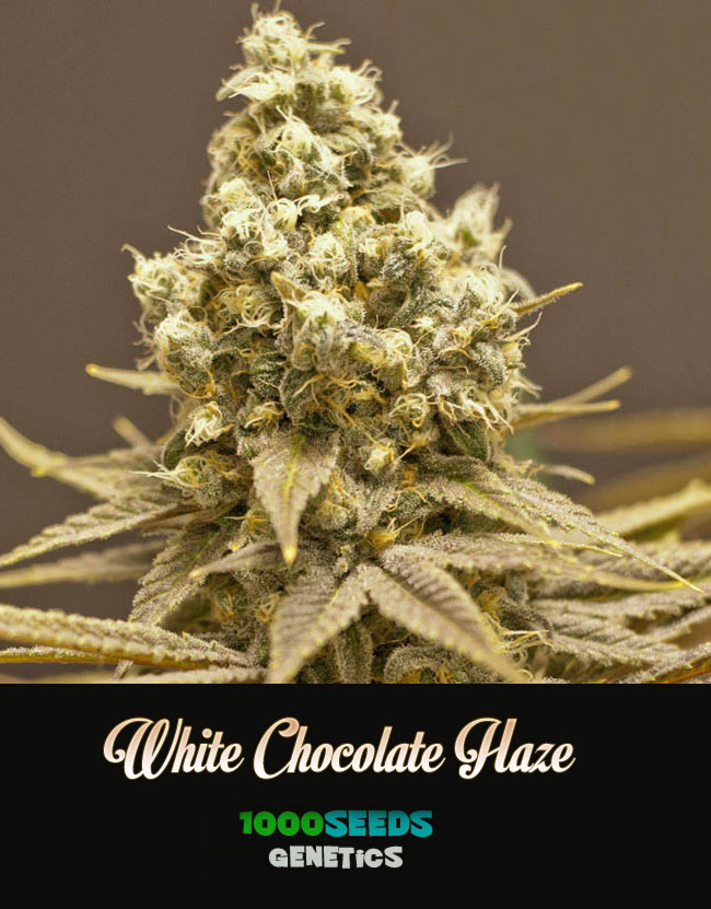 white-chocolate-Haze, 1000Seeds Genetics, feminisierte Seeds