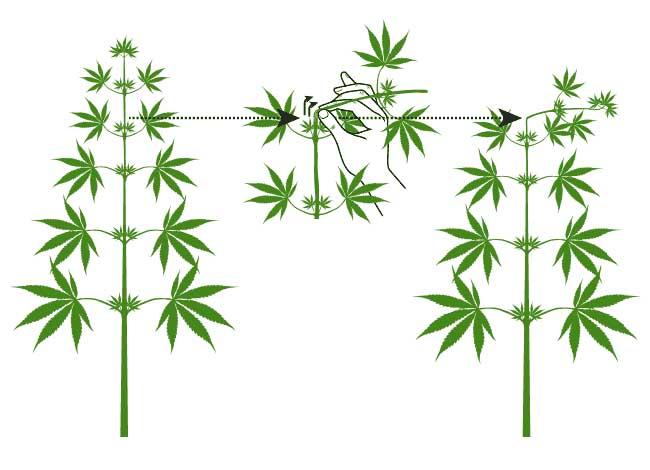 zu gro e cannabispflanzen in der growbox und was man dagegen tun kann 1000seeds. Black Bedroom Furniture Sets. Home Design Ideas