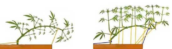 Cannabispflanzen runterbinden