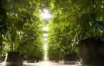 Indoor zu große Cannabispflanzen