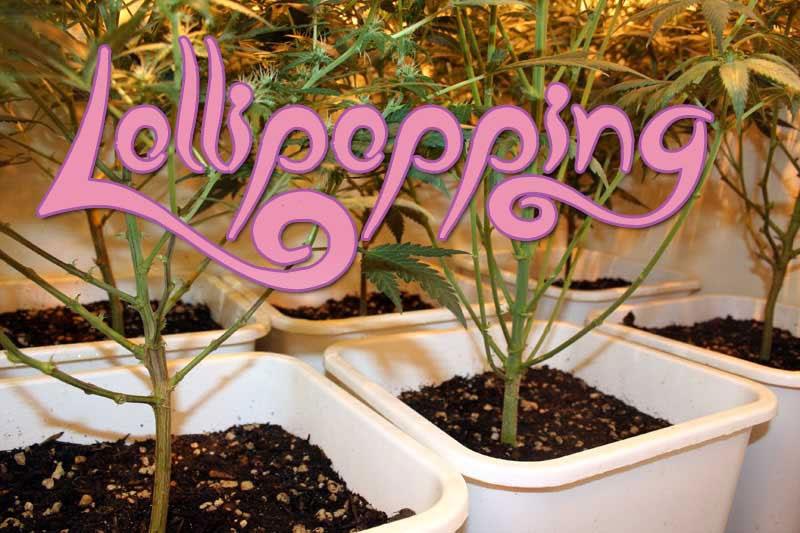 Lollypopping, Cannabis grow, Ertrag steigern