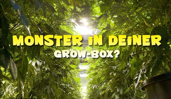 zu große Cannabispflanzen, Grow-Tipps, Cannabis anbauen