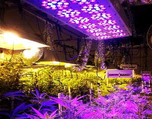 led beim cannabis grow 1000seeds. Black Bedroom Furniture Sets. Home Design Ideas