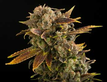 Fressflash Cannabis, Cannabis steigert Appetit