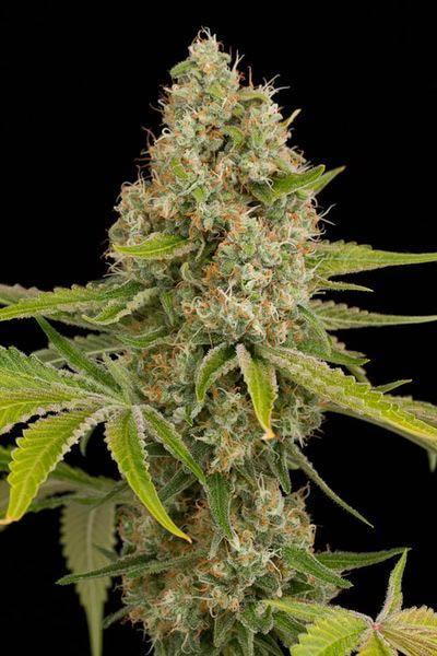 OG Kush ein legendärer Cannabis Strain