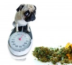 Cannabis und Steigerung des Appetits, Cannabis Gewichtsregulierung