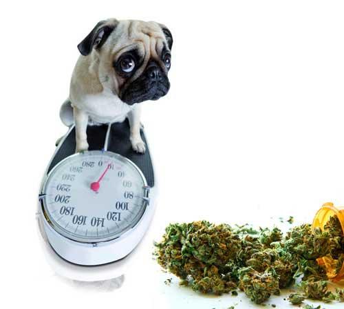 Cannabis als Appetitanreger und als Regulator für das Körpergewicht