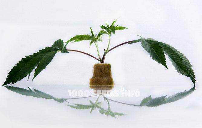 Stecklinge cannabis selber machen