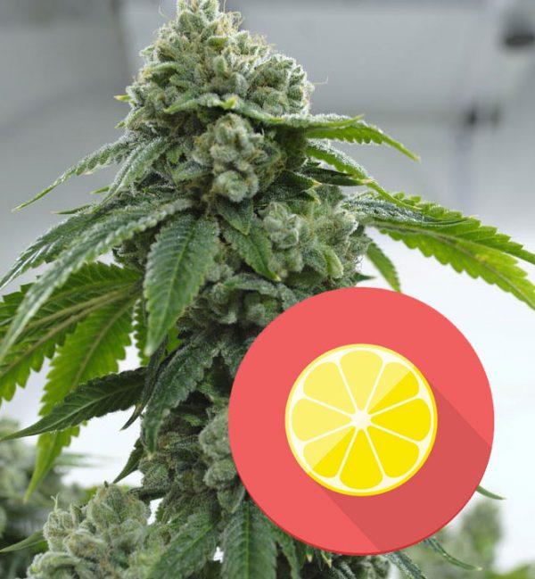 oG-Kush Terpen Limonen, OG Kush cannabis-sorte, terpene