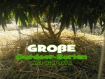 Outdoor-Cannabis-Sorten