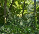 Cannabis outdoor anbauen