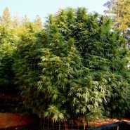 Chocolope, Outdoor Cannabis-Sorte