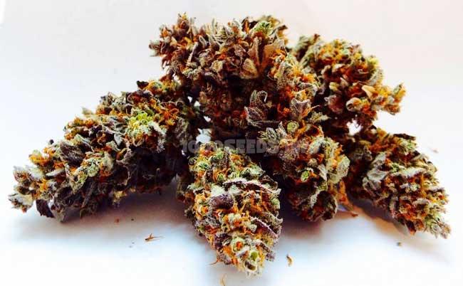 60 Days Wonder, DNA Genetics, beste automatic Cannabis-Sorten, Seeds kaufen