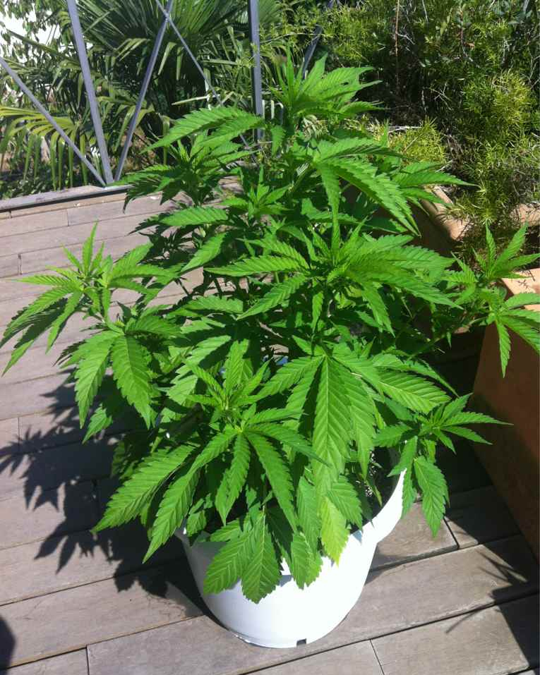 Cannabis am Balkon, Cannabis Outdoor-Grow