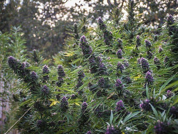 Outdoor-Grow-Tipps, Cannabis im Freien