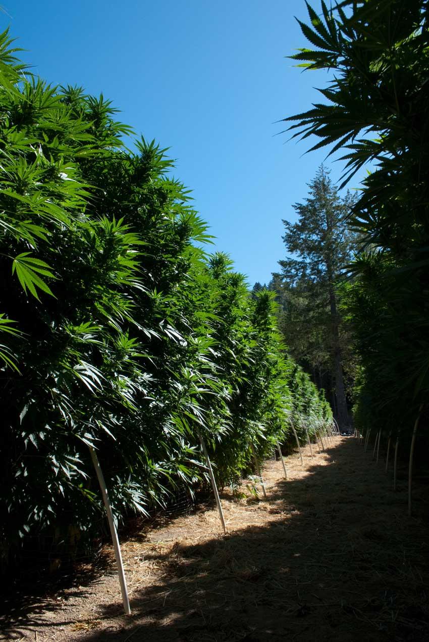 Anabau große Cannabispflanzen