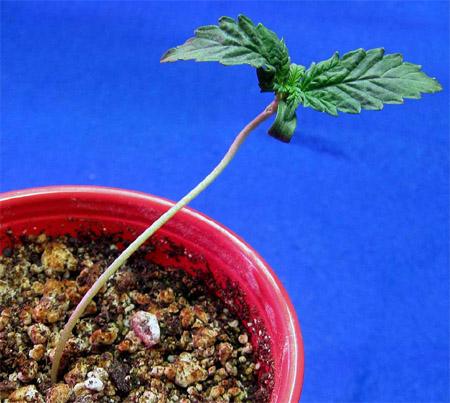 Cannabis Keimling, Lichtmangel