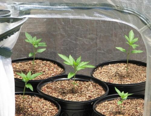 Cannabis im Gewächshaus vorziehen, Keimung