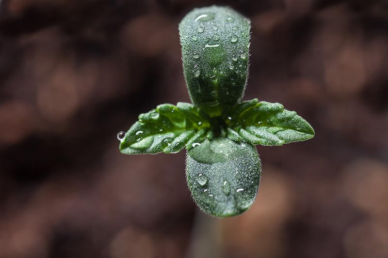 Cannabis-Samen-keimen