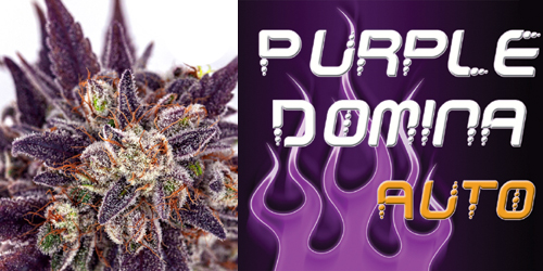 Purple Domina Auto