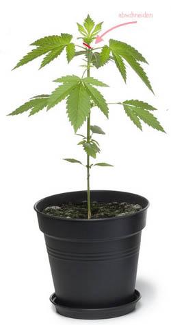 Cannabispflanzen klein halten, Outdoor-Grow, Topping